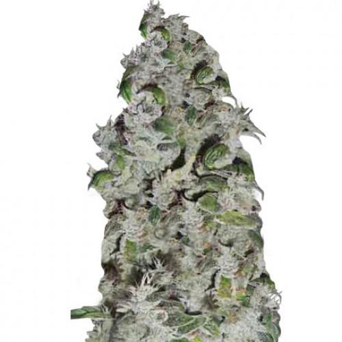 Auto Pyramid насіння конопель: фото, характеристики, відгуки, опис