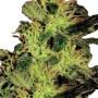 Auto Super Bud насіння конопель: фото, характеристики, відгуки, опис