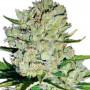 Auto Super Skunk Feminised насіння конопель: фото, характеристики, відгуки, опис