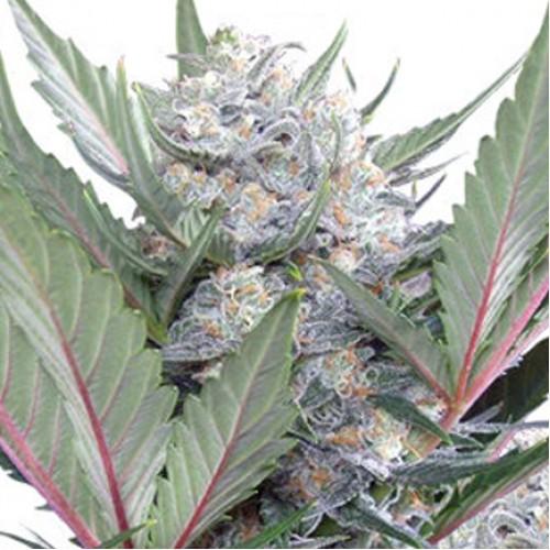 Auto Sweet Skunk насіння конопель: фото, характеристики, відгуки, опис
