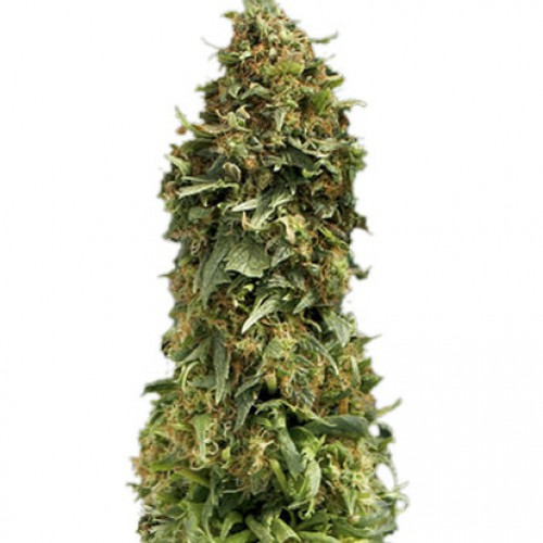 Auto Sweet Tooth семена конопли: фото, характеристики, отзывы, описание