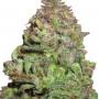Auto White Dwarf Feminised насіння конопель: фото, характеристики, відгуки, опис