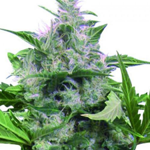 Auto White Dwarf насіння конопель: фото, характеристики, відгуки, опис