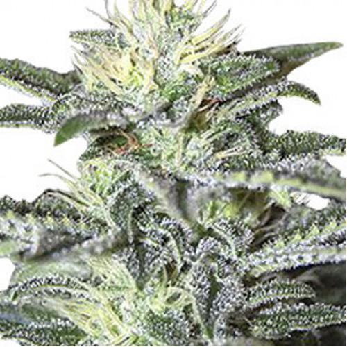 Auto White Widow насіння конопель: фото, характеристики, відгуки, опис