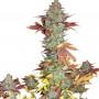 Blueberry насіння конопель: фото, характеристики, відгуки, опис