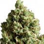 Critical Kush насіння конопель: фото, характеристики, відгуки, опис