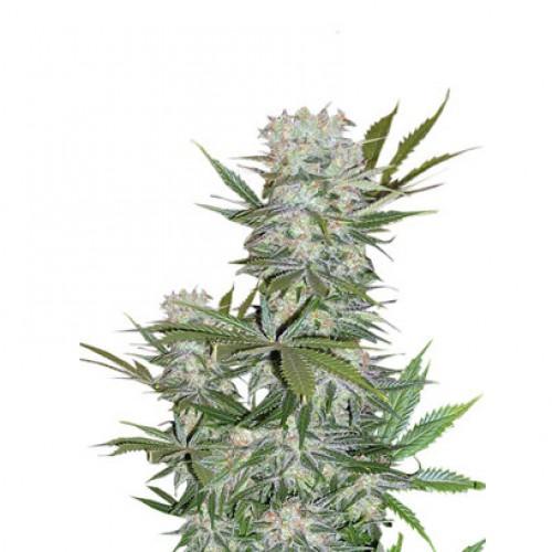 G13 Haze Feminised насіння конопель: фото, характеристики, відгуки, опис