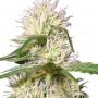 LSD насіння конопель: фото, характеристики, відгуки, опис