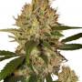 Nibiru насіння конопель: фото, характеристики, відгуки, опис