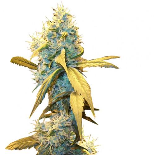 Northern Lights насіння конопель: фото, характеристики, відгуки, опис