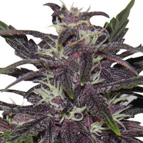 Purple Kush Feminised насіння конопель: фото, характеристики, відгуки, опис