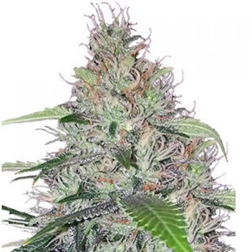 Shiva Skunk насіння конопель: фото, характеристики, відгуки, опис