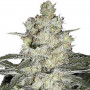 Skunk #1 насіння конопель: фото, характеристики, відгуки, опис