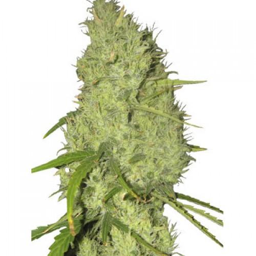 Skunk#11 Feminised насіння конопель: фото, характеристики, відгуки, опис