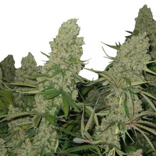 Super Silver Haze Feminised насіння конопель: фото, характеристики, відгуки, опис