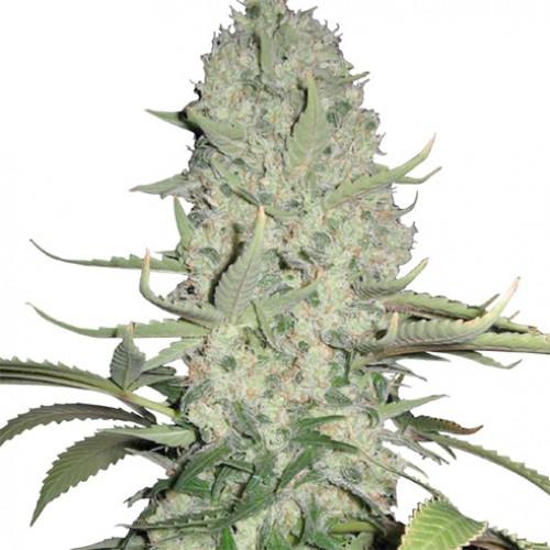 White Widow Feminised - Ganja Seeds насіння конопель: фото, характеристики, відгуки, опис