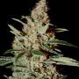 Chemdog Feminised насіння конопель: фото, характеристики, відгуки, опис