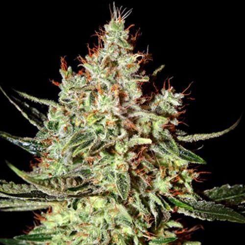 K-Train Feminised насіння конопель: фото, характеристики, відгуки, опис