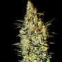 Neville's Haze Feminised насіння конопель: фото, характеристики, відгуки, опис