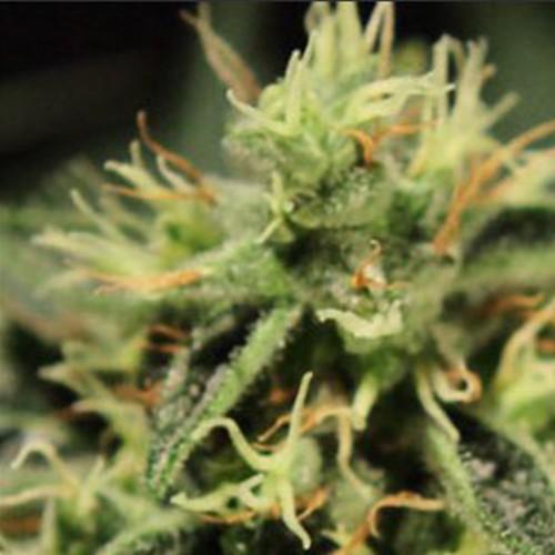 Super Bud Feminised насіння конопель: фото, характеристики, відгуки, опис