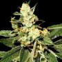 Train Wreck Feminised насіння конопель: фото, характеристики, відгуки, опис