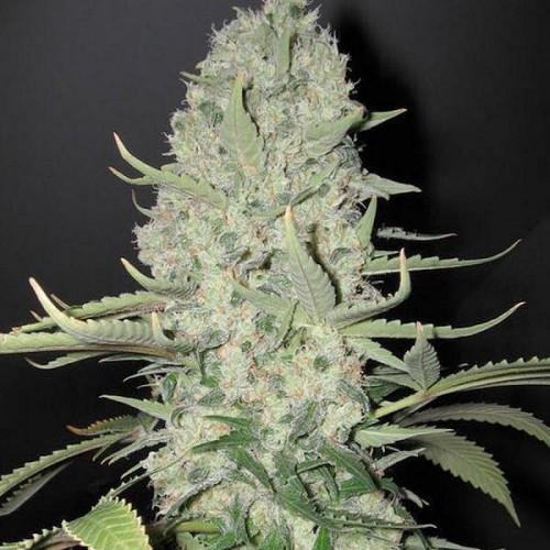 Kali Mist насіння конопель: фото, характеристики, відгуки, опис