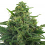Lowryder Feminised насіння конопель: фото, характеристики, відгуки, опис
