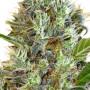 Somango  насіння конопель: фото, характеристики, відгуки, опис