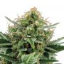 Auto Jack Herer насіння конопель: фото, характеристики, відгуки, опис