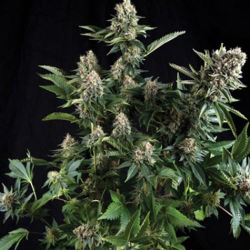 Auto White Widow Feminised (поштучно) насіння конопель: фото, характеристики, відгуки, опис