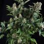 White Widow Feminised (поштучно) насіння конопель: фото, характеристики, відгуки, опис