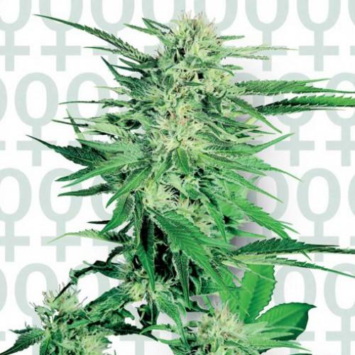Big Bud Feminised насіння конопель: фото, характеристики, відгуки, опис