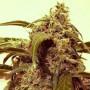 Auto Assassin насіння конопель: фото, характеристики, відгуки, опис