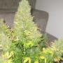 Auto Onyx насіння конопель: фото, характеристики, відгуки, опис