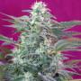 Big Foot Feminised насіння конопель: фото, характеристики, відгуки, опис