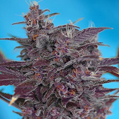 Auto Black Cream Feminised насіння конопель: фото, характеристики, відгуки, опис