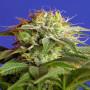 Green Poison Feminised насіння конопель: фото, характеристики, відгуки, опис