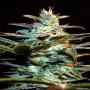 Ice Cool Feminised насіння конопель: фото, характеристики, відгуки, опис