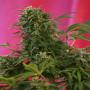 Snow Fruit Feminised насіння конопель: фото, характеристики, відгуки, опис
