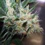 Double White Feminised насіння конопель: фото, характеристики, відгуки, опис