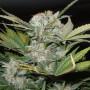 Auto Fast Bud Feminised насіння конопель: фото, характеристики, відгуки, опис