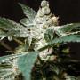 Wild Rose Feminised насіння конопель: фото, характеристики, відгуки, опис