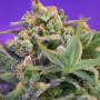 Sweet Cheese Feminised насіння конопель: фото, характеристики, відгуки, опис