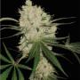 Narkush Feminised (поштучно) насіння конопель: фото, характеристики, відгуки, опис