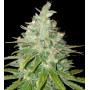Black Domina Feminised (поштучно) насіння конопель: фото, характеристики, відгуки, опис