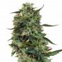 Auto LSD Feminised (поштучно) насіння конопель: фото, характеристики, відгуки, опис