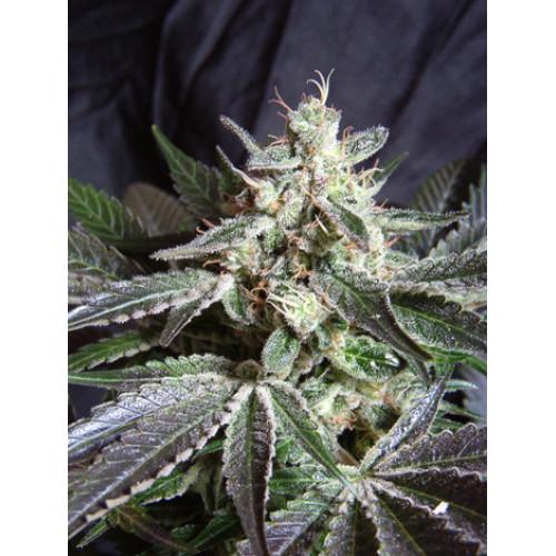 Black Jack Feminised (поштучно) насіння конопель: фото, характеристики, відгуки, опис