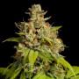 Durban Poison Feminised (поштучно) насіння конопель: фото, характеристики, відгуки, опис