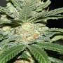 Bob Marley Kush Feminised (поштучно) насіння конопель: фото, характеристики, відгуки, опис