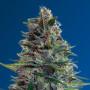 Auto Blue Diesel Feminised (поштучно) насіння конопель: фото, характеристики, відгуки, опис